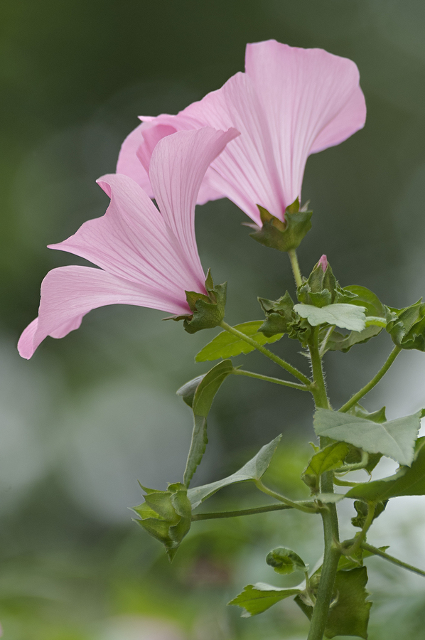 mallow used to make an sore throat infusion
