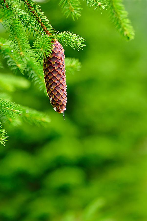 pine tree resin used to make tincture to treat sore throat