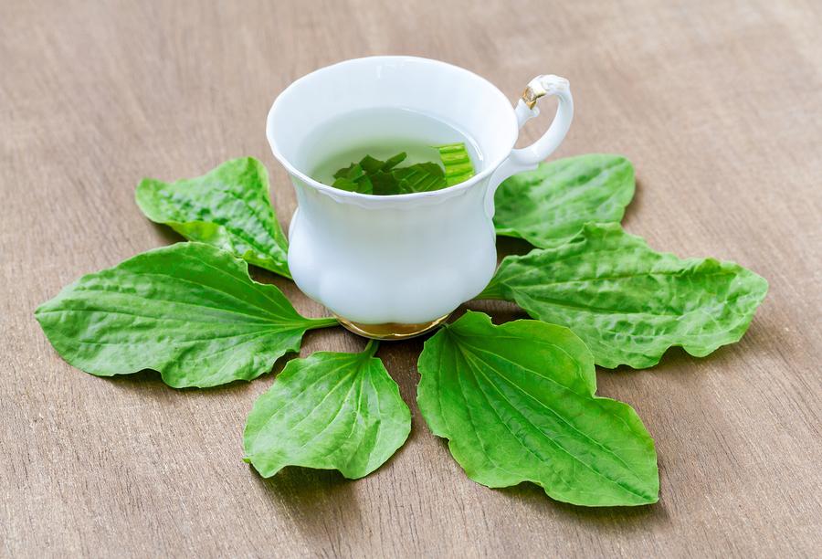 plantain tea as sore throat natural remedy